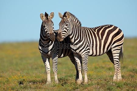 zebre delle pianure
