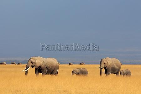 elefanti africani a pascolo