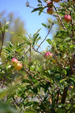 apples apples on the tree