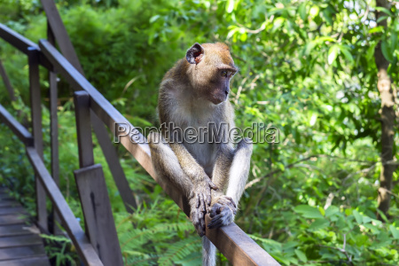giovane macaque