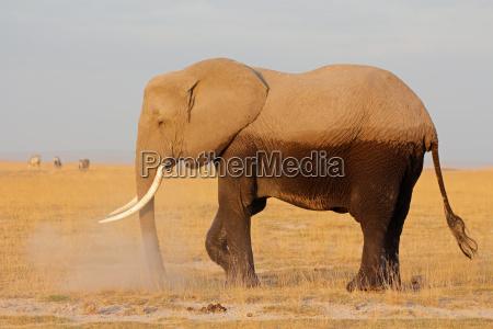 mammifero africa elefante kenia natura africano