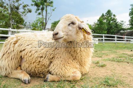 a riposo delle pecore