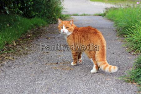 il gatto rosso sulla strada