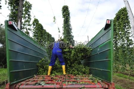 agricolo agricoltura luppolo economia agricola pianta