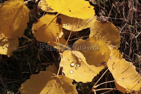 pioppo giallo lascia con la rugiada