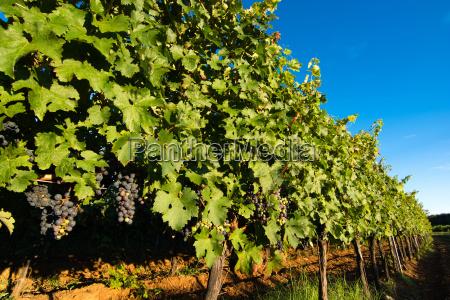agricoltura uva frutta viticoltura mosto autunno