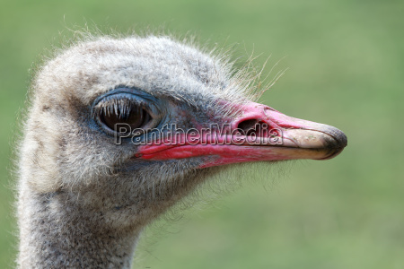 close up portrait of african ostrich