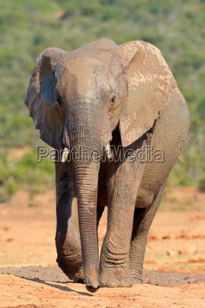 mammifero africa elefante natura africano safari