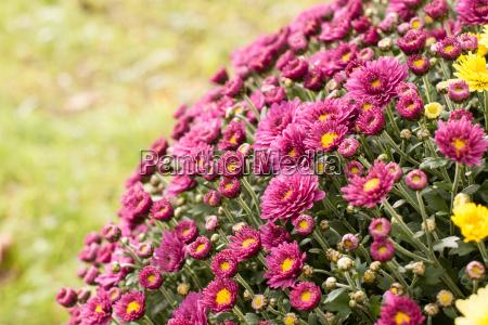 fiore fiori inclinazione tendenza dipendenza porpora