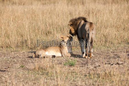 animale africa savana leone gatto predatore