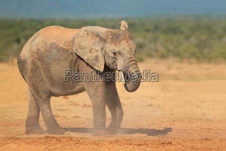 elefante africano nella polvere