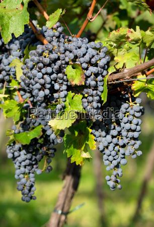 agricoltura uva frutta viticoltura mosto nutrizione