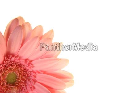 fiore rosa gerbera