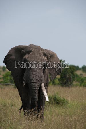animale africa elefante kenia zanna savana