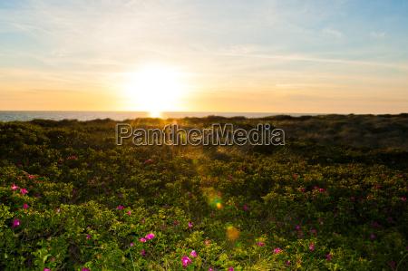fiore di campo tramonto