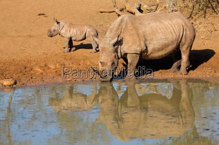 africa natura africano safari rinoceronte