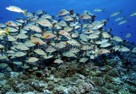 mari del sud afferrare pesci