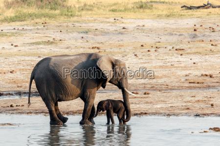 elefanti africani con bambino elefante bere