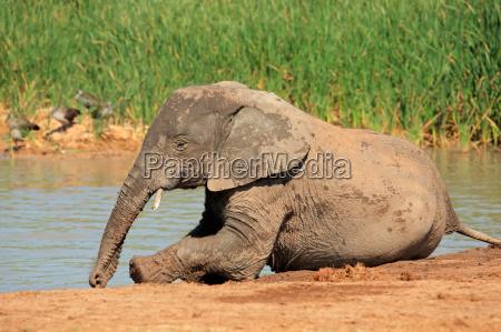 elefante africano giocoso
