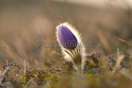 oggetto fiore pianta caucasico europeo europa