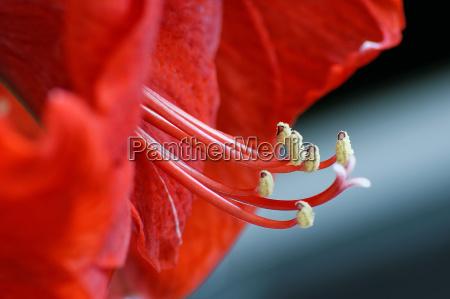 fiore pianta fioritura fiorire fiori amarillide