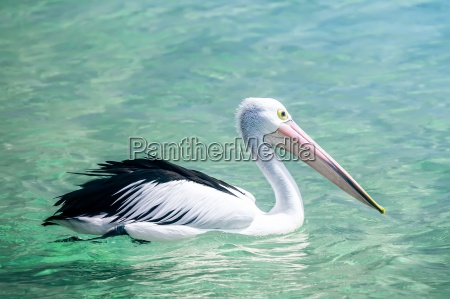 animale uccello uccelli australia becco pellicano