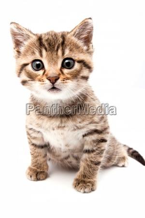 piccolo gatto grigio isolato su bianco