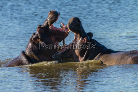 combattimento guerra combattere africa animali natura