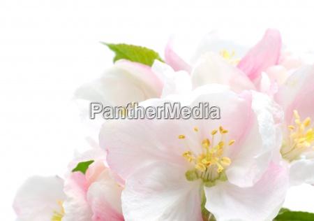 fioritura fiorire flora estate primavera melo