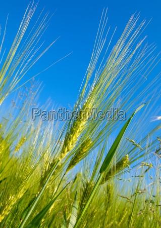 cosecha de trigo en el cielo