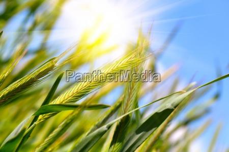 raccolto di grano sul cielo blu