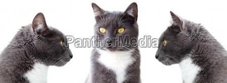 gatti grigi isolato su sfondo bianco