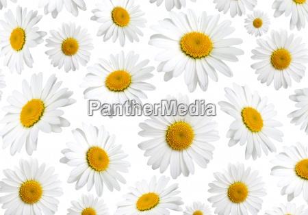 fiori di struttura della camomilla su