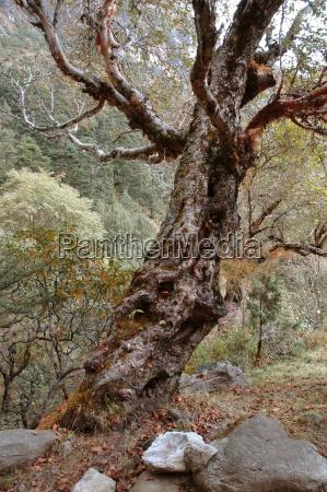 vecchi alberi nelle foreste dellhimalaya nepal