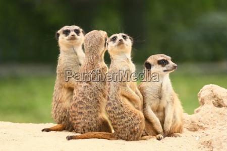 gruppo di suricati sul fondo verde