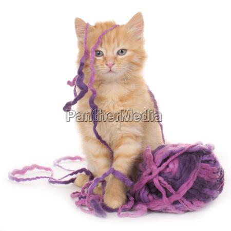 gattino con la sfera di lana