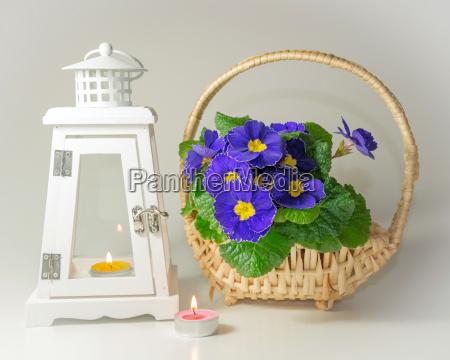 lantern and primrose