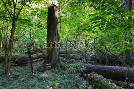 albero rotto primordiale abete bianco decadenza