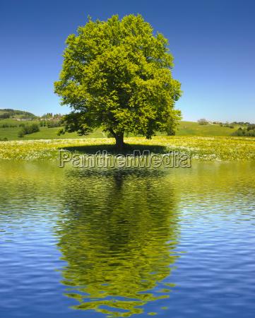 grande vecchio albero come un singolo