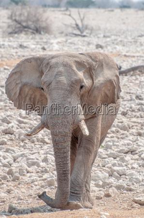 mammifero elefante avorio zanna orecchie natura