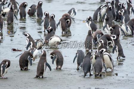 animale uccello pinguino cile gruppo riva