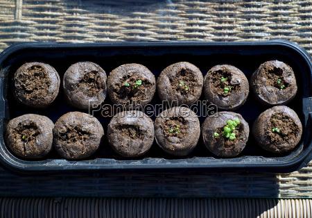 catnip seedlings in pods