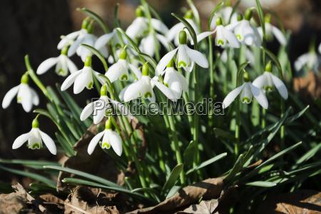 belle gocce di neve fiori di