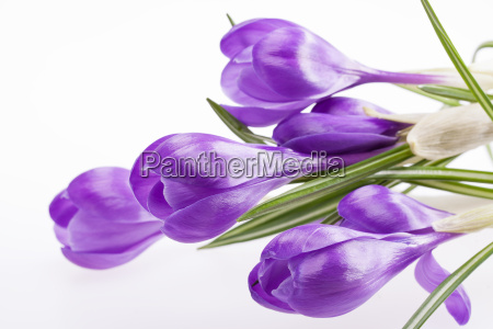 alcuni fiori di croco viola isolato