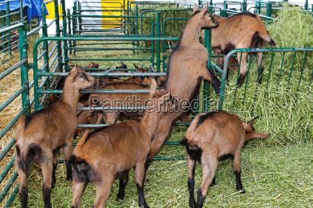 marrone animali capra capre bestiame fattoria