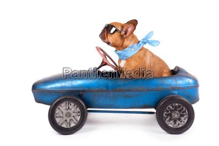 bulldog francese a tretauto