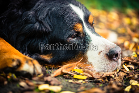 bernese mountain dog riposa in autunno