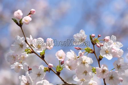 fioritura ramo di fiori di ciliegio