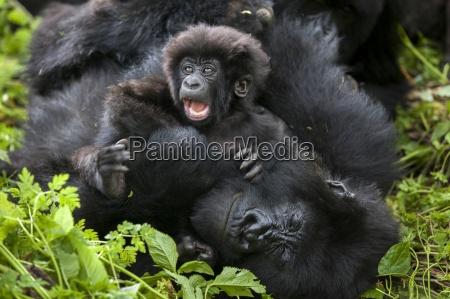 i gorilla di montagna nella giungla