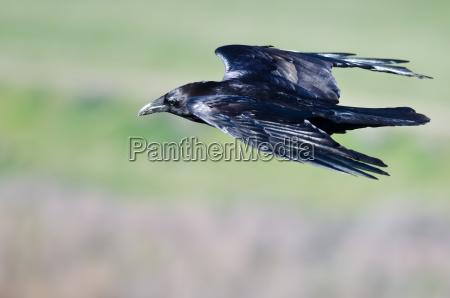 chiudi guarda il corvo comune nero